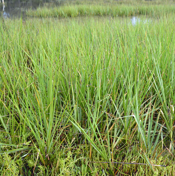 spartina alterniflora pictures to pin on pinterest pinsdaddy